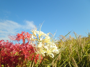 収穫時期を教える彼岸花の写真素材 [FYI00383748]