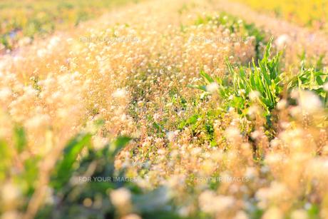 春のナズナの素材 [FYI00383925]