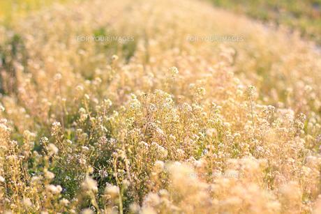春のナズナの素材 [FYI00383942]