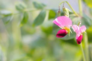 きぬさやの花の写真素材 [FYI00383954]