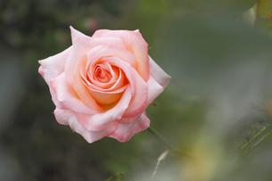 薔薇の花 フロージン82の写真素材 [FYI00384126]