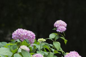 あじさいの花の素材 [FYI00384344]