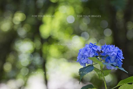 紫陽花の花の素材 [FYI00384378]