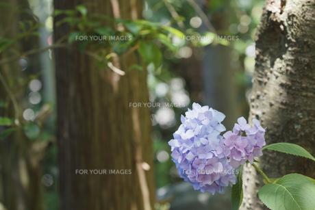 あじさいの花の素材 [FYI00384382]