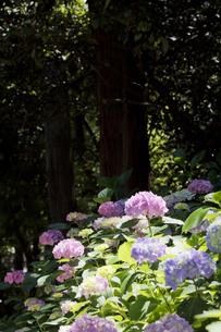 あじさいの花の素材 [FYI00384387]