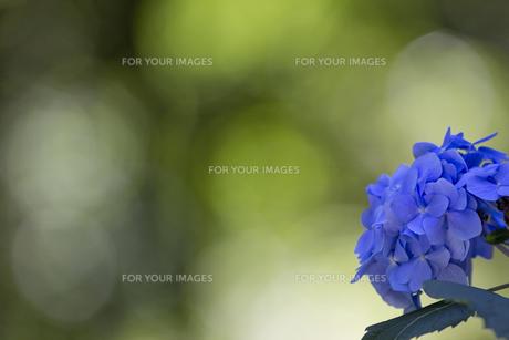 紫陽花の花の素材 [FYI00384401]