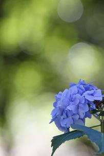 紫陽花の花の素材 [FYI00384403]