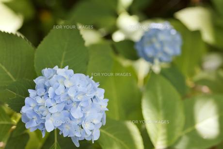 紫陽花の花の素材 [FYI00384404]