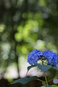 紫陽花の花の素材 [FYI00384408]
