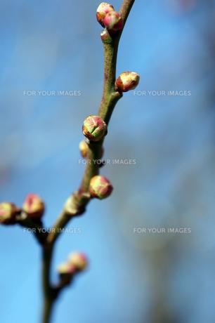 梅の花のつぼみの素材 [FYI00384586]