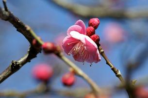 梅の花のつぼみの素材 [FYI00384598]