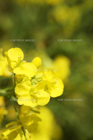 菜の花のアップの素材 [FYI00384660]
