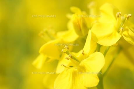 菜の花のアップの素材 [FYI00384671]