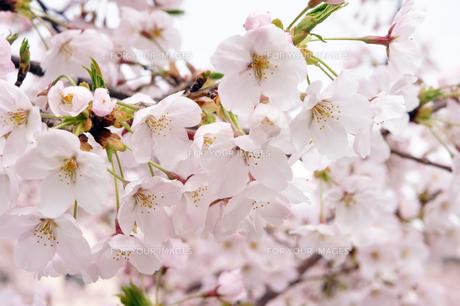 さくらの花のクローズアップの素材 [FYI00384682]