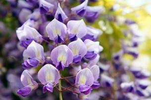 青い藤の花のクローズアップの素材 [FYI00384699]