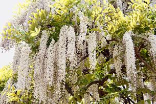 白い藤の花の素材 [FYI00384702]