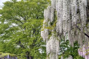 白い藤の花の素材 [FYI00384707]