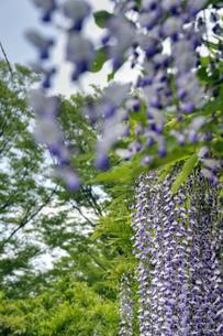 青い藤の花の素材 [FYI00384714]