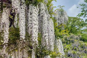 白と青の藤の花の素材 [FYI00384719]