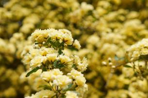黄色の木香薔薇の素材 [FYI00384740]