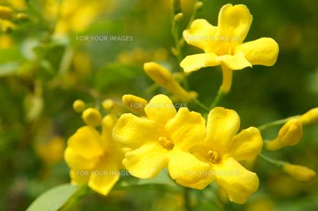 キソケイの花の素材 [FYI00384754]