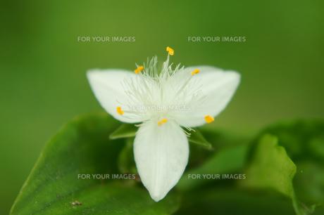 トキワツユクサの花の素材 [FYI00384764]