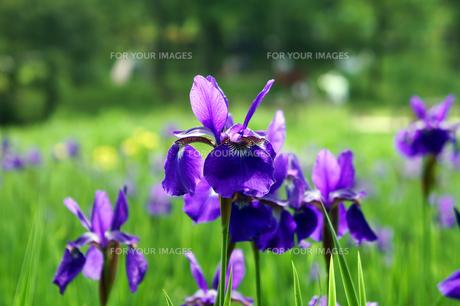 青紫色のアヤメの素材 [FYI00384767]