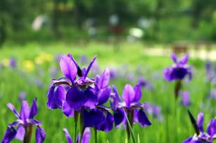 青紫色のアヤメの素材 [FYI00384775]