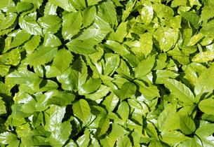新緑の葉の素材 [FYI00384788]