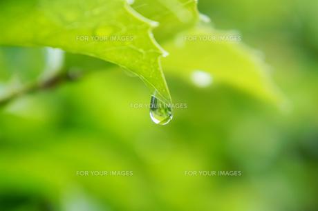 緑と雨雫の素材 [FYI00384791]