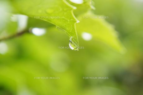 緑と雨雫の素材 [FYI00384794]