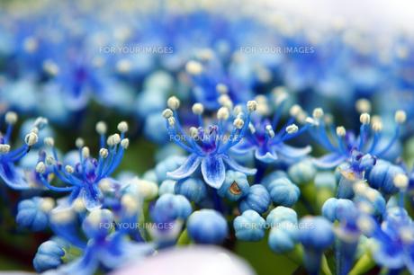 紫陽花の雄しべと雌しべの素材 [FYI00384808]