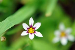 春の小さな花の素材 [FYI00384812]