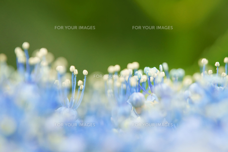 紫陽花の雄しべと雌しべの素材 [FYI00384815]