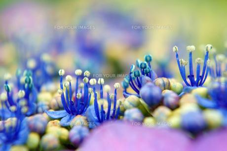 紫陽花の雄しべと雌しべの素材 [FYI00384823]