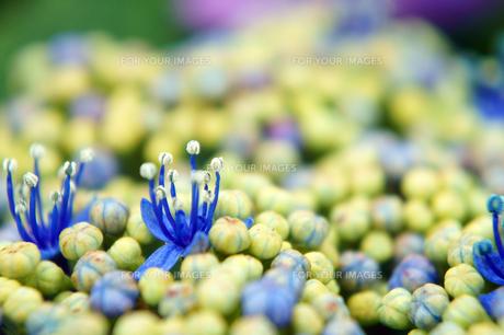 紫陽花の蕾の中に開く雄しべと雌しべの素材 [FYI00384824]
