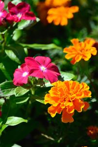 オレンジ色のマリーゴールドの素材 [FYI00384936]