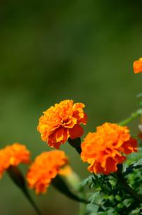 オレンジ色のマリーゴールドの素材 [FYI00384938]