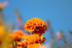 オレンジ色のマリーゴールドの素材 [FYI00384940]