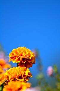 オレンジ色のマリーゴールドの素材 [FYI00384941]