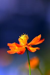 オレンジ色のコスモスの素材 [FYI00384965]