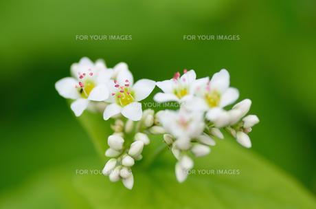 蕎麦の花の素材 [FYI00385050]