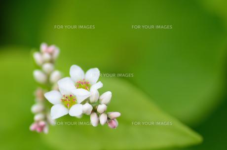 蕎麦の花の素材 [FYI00385055]