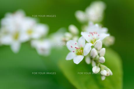蕎麦の花の素材 [FYI00385061]