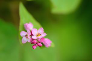 赤蕎麦の花の素材 [FYI00385064]