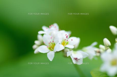 蕎麦の花の素材 [FYI00385069]