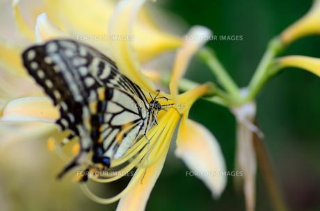 アゲハチョウと彼岸の花の素材 [FYI00385086]