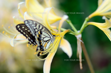 アゲハチョウと彼岸の花の素材 [FYI00385104]