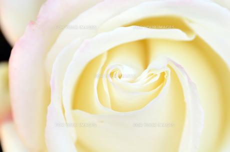 白薔薇のクローズアップの素材 [FYI00385133]