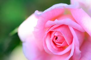 桃色の薔薇のクローズアップの素材 [FYI00385136]
